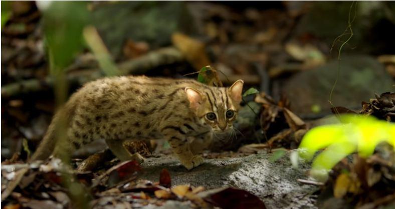 World's smallest cat BBC